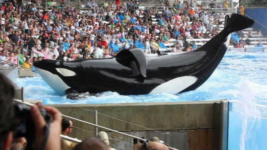 Tilikum performing at Seaworld.